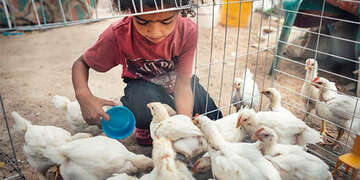 A child feed baby chicks which can provide nutrient rich eggs to support a family