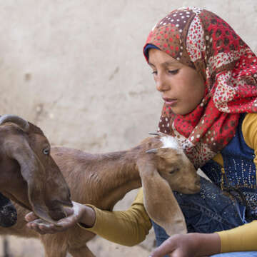 Young, colorfully-dressed Sabeen, age 15, knowingly tends to some goats.